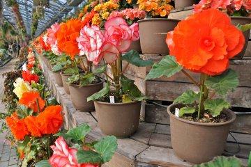 <p>Never ending shelves of vibrant Begonias</p>