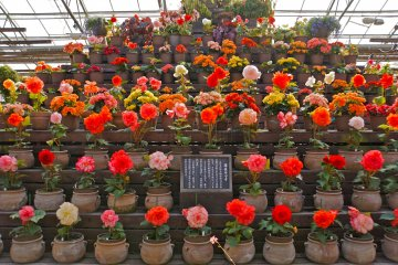 <p>Beautiful Begonias. What&#39;s your favorite color?</p>
