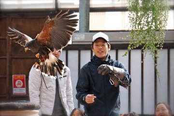 <p>The wingspan of the Harris&#39; Hawk is about&nbsp;103cm to 120cm</p>