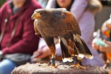 <p>Harris&#39; Hawk at the indoor Bird Show&nbsp;is social in nature</p>