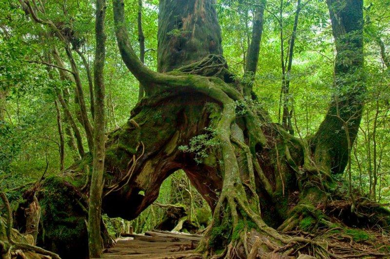 屋久岛巨人般的杉树。