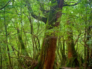 A normal Yakushima walking trail.