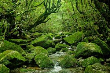 河流中布满者长满苔藓的岩石。
