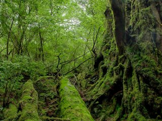 Hiking lets you experience Yakushima's beauty