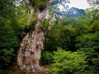 The 3000 years old Jomon-sugi!