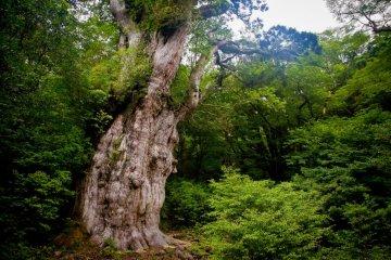 3000岁的绳文杉!