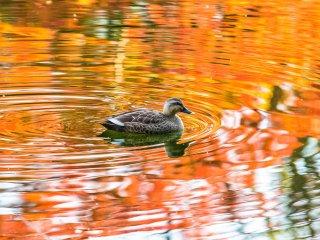 Un canard sous les couleurs de l'automne
