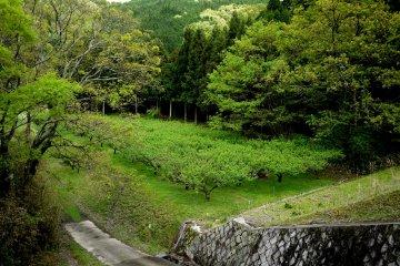 <p>A field of plum trees</p>