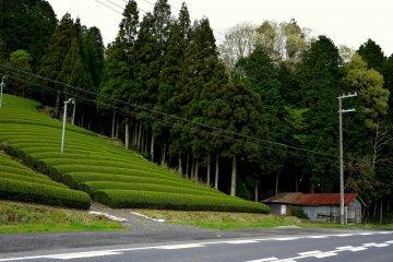 <p>Tea fields on the hillside</p>