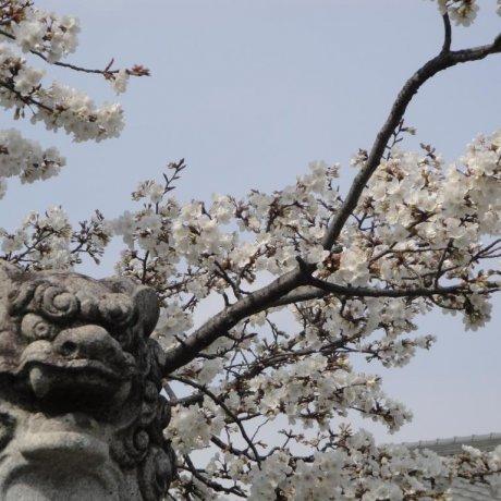 ดอกซากุระที่ปราสาทโกะริยะมะ