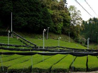 Rows of tea bushes
