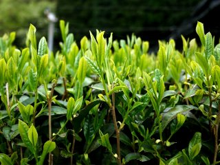 These new shoots make really delicious tea!