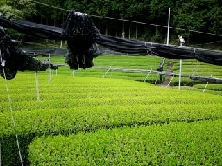 Protecting the tea by shading it from the sun produces a milder, sweeter flavor