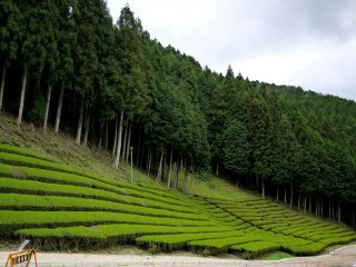 Tea planted in rows along the foot of a cedar clad slope