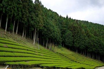 Чайные плантации в префектуре Сига