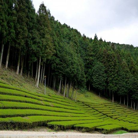 Perkebunan Teh di Prefektur Shiga