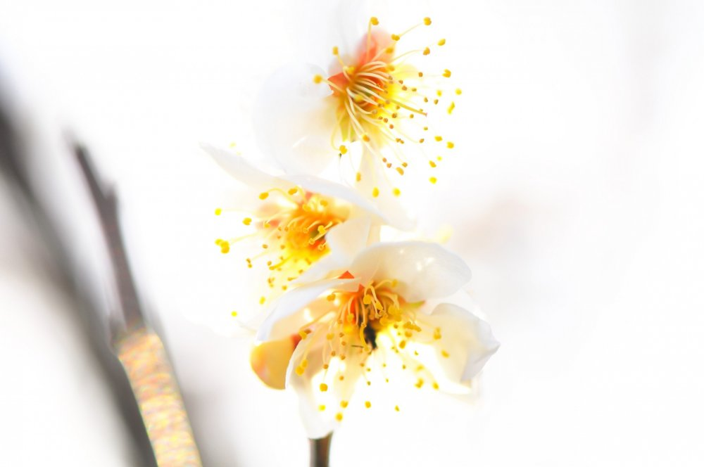 Petals of white plum blossoms melting into soft bright sunshine