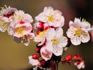 Fully open plum petals