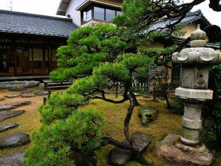 老松は見上げる程高く、風格ある庭園の中で偉大な存在感を持つ