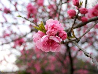 早咲きの桜?  梅の花にはどうも見えない。