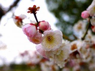 梅の花の香りは最高