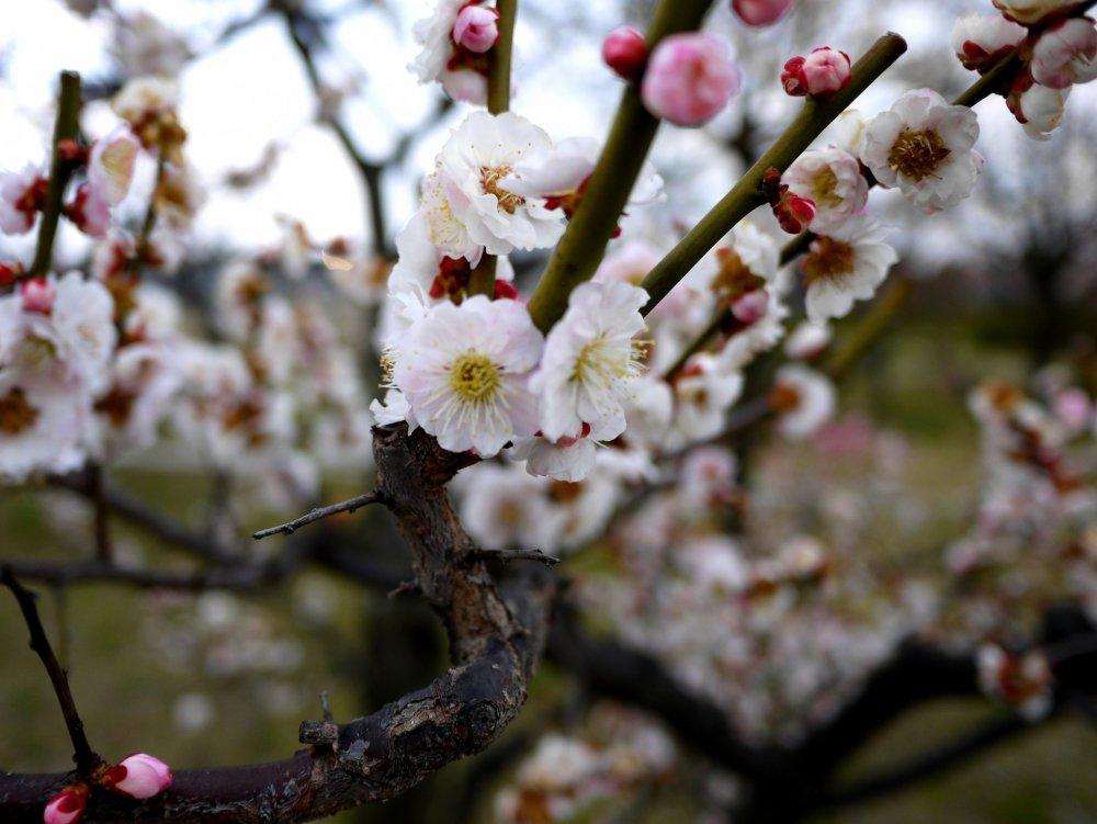 桃色のつぼみと白い花