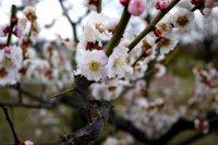 梅小路公園の梅の花