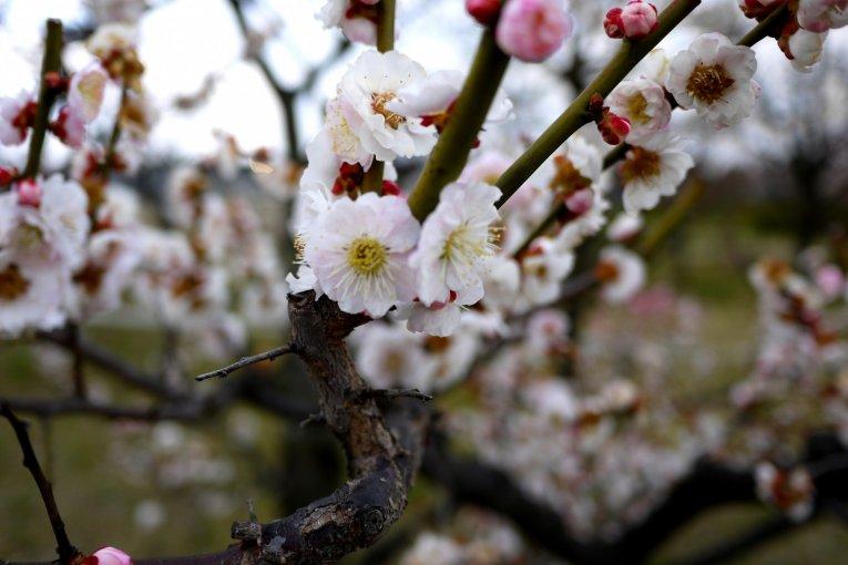 Цветение сливы в парке Умэкодзи