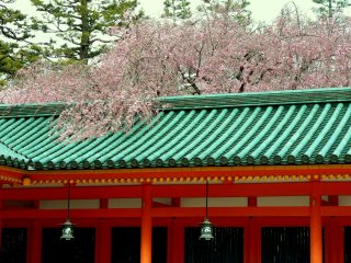 Weeping cherry spilling out of the inner garden at Heian Shrine