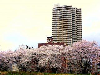 高層ビルを背景に土手の上の桜並木を撮影