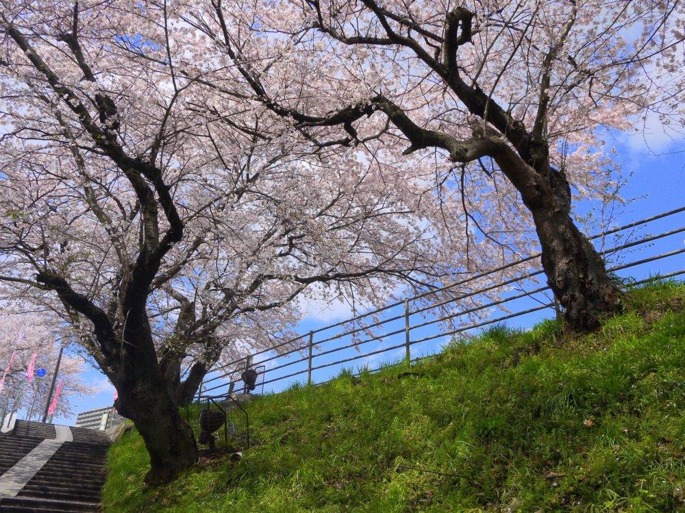 目の前に拡がる桜並木