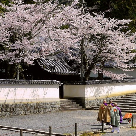 Prayers and Cherry Blossoms