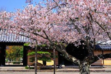 ต้นซากุระที่วัดโคะคะวะเดะระ (Kokawadera)