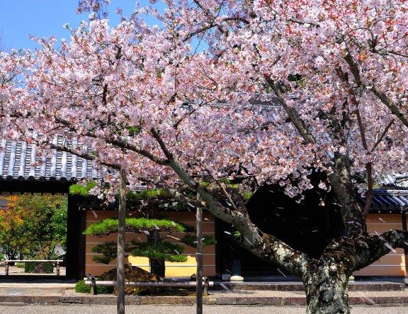 Pohon Sakura di Kuil Kokawadera