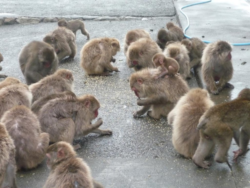 The monkeys pick up grains thrown on the ground.  Be careful as fights sometimes break out among the monkeys fighting over the food.