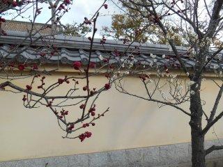 The plum trees start to flower