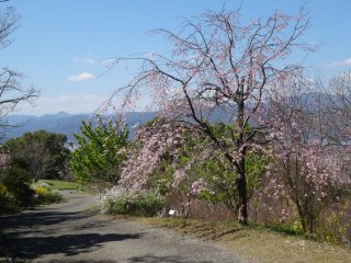 A weeping cherry tree just past its prime