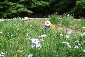 Lady working in the Iris garden