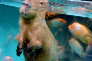 Capybara with only the top of his head above the water