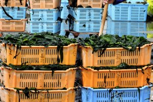 Wakame harvest on the docks