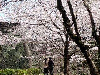 外堀では内堀に負けず美しく桜が咲き誇る。