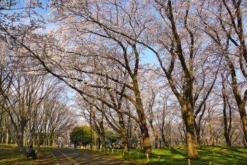 Hoa anh đào tại công viên Negishi