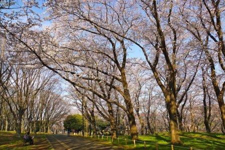 Flores de Cerejeira, Parque Negishi
