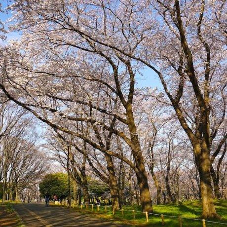Negishi Park Cherry Blossom Season