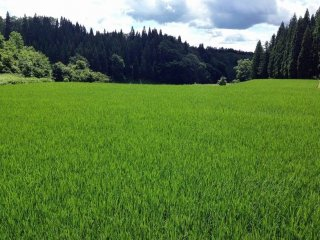 A field of rice spreads out like a perfectly manicured lawn.