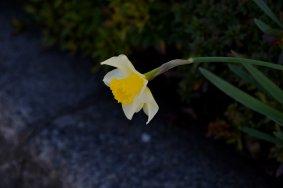 Цветы на улице Сакура в Фукуи