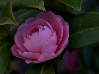 木陰にひっそりと咲くピンクの椿