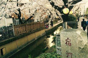 Uma Chuva de Flores de Cerejeira