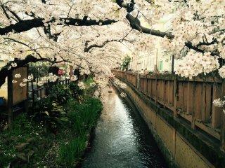 Foram plantadas cerca de 400 cerejeiras ao longo deste rio