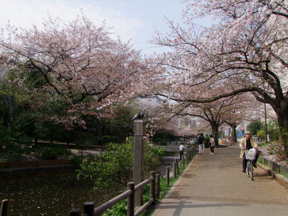 Flores de cerejeira por cima do rio Oyokogawa